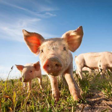 Swine Farming Challenges